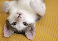 Playful kitten. Portrait of a playful kitten posing upside-down on a yellow sofa stock image