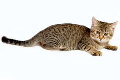 Playful kitten. Striped kitten plays on a white background Stock Photography