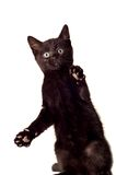 Playful Kitten. Adorable black kitten standing on his back legs,playing Stock Images