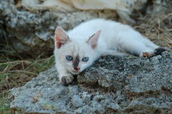 Playful kitten. Blue-eyed kitten looking attentively Stock Images