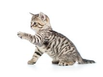 Playful kitten cat isolated on white Royalty Free Stock Images