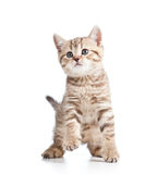 Playful kitten cat on white Royalty Free Stock Image