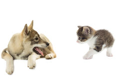 Playful kitten and dog Stock Photography