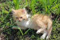 Playful kitten on the grass Royalty Free Stock Photography