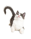Playful Kitten Laying Looking Up Royalty Free Stock Photography