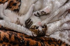 Playful kitten lies on the coverlet and is played Royalty Free Stock Photography