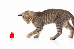 Playful kitten is played with a red toy mouse on white background. Playful kitten is played with a red toy mouse on a white background Stock Photos