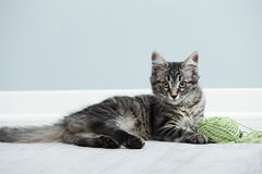 Playful kitten Royalty Free Stock Images