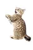 Playful kitten Scottish Straight Royalty Free Stock Image