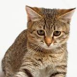 Playful kitten. Striped kitten plays on a white background Stock Image