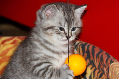 Playful kitten tabby  tiger with ball. Royalty Free Stock Photography