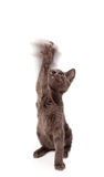 Playful kitten waving paw in air Royalty Free Stock Photos