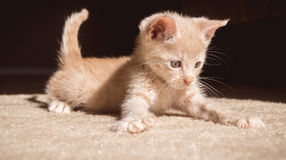 Playful kitten. A 5 week old kitten kitten how is playing in the sun Stock Photos