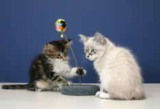 Playful kittens Royalty Free Stock Image