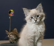 Playful kittens Stock Photography