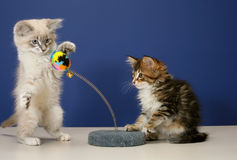 Playful kittens Royalty Free Stock Photo