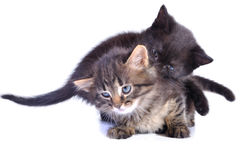 Playful kittens Royalty Free Stock Photography