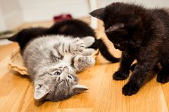 Playful kittens. Grey and Black kitten playing with each other  on the floor Stock Image