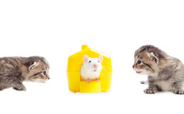 Playful kittens and pet rat Stock Photography