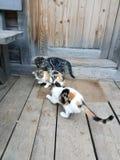 Playful Kittens Royalty Free Stock Photo