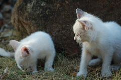 Playful kittens. Two kittens developing its curiosity Stock Photos