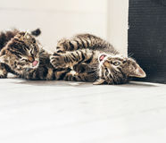 Playful Kitties Rolling on the Floor in the House Stock Photo
