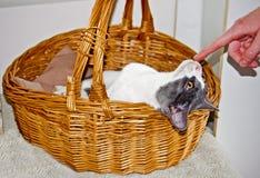 Playful Kitty Stock Photography