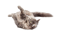 Playful Kitty Laying on Back Stock Images