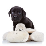 Playful labrador puppy Royalty Free Stock Images