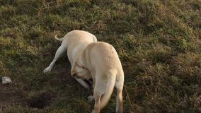 Playful labrador puppy dog learn how to dig a whole. Nagging, biting and playing with mother stock video