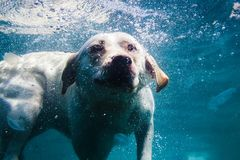 Playful labrador puppy in swimming sea has fun - dog jump and dive underwater to retrieve shell. Training and active games with fa Royalty Free Stock Photos