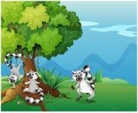 Playful lemurs playing near the big tree Royalty Free Stock Photography