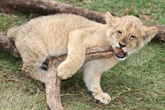 Playful Lion Cub Royalty Free Stock Images
