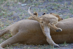 Playful lion cub crawls over his mother. Royalty Free Stock Photos