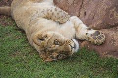 Playful Lion Cub Portrait Royalty Free Stock Photos