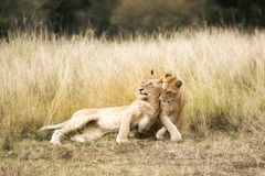 Playful lion cubs in the Masai Mara Stock Images