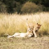 Playful lion cubs in the Masai Mara Stock Photo