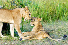 Playful Lion Cubs stock photography