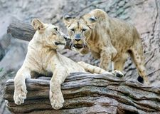 Playful Lions Stock Photography