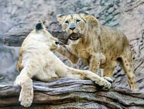 Playful Lions Stock Photo