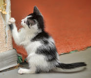 Playful little black and white kitten Royalty Free Stock Photography