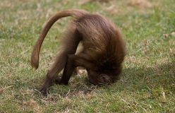 A playful little Gelada baboon Royalty Free Stock Images