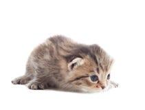 Playful little kitten Royalty Free Stock Images