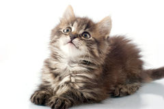 Playful little kitty Royalty Free Stock Images