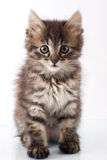 Playful little kitty Royalty Free Stock Photos