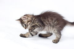 Playful little kitty Stock Photography