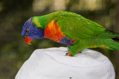 Playful Lorikeet Stock Images