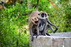 Playful macaque monkeys from Sri Lanka Royalty Free Stock Photos