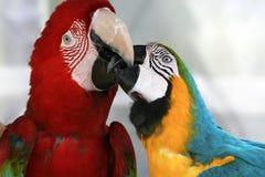 Playful macaws Stock Photo