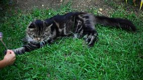 Playful Maine Coon cat in the grass Royalty Free Stock Image